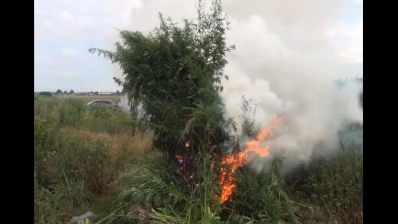 Подмосковные полицейские уничтожили более двух тысяч кустов дикорастущей конопли