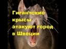 Гигантские крысы атакуют город в Швеции. Детей не выпускают на улицу. Окна и двери не открывать