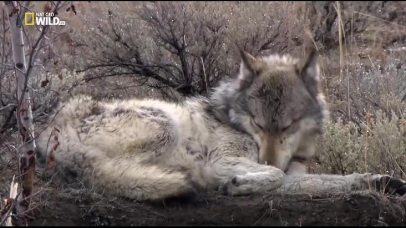 1. NG Дикий Йеллоустоун. Волчица - Wild Yellowstone. She Wolf (2013)