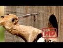 Documentary Birds Return of the Hoopoe - The Secrets of Nature