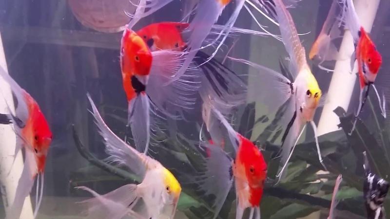 War Paint Angelfish Super Veil Breeders On Holiday