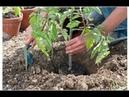 Посадка рассады томата в открытый грунт, необычный способ