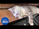 Nothing can wake this cat not even a piano playing in its ears