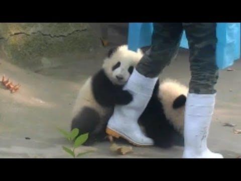 かまってほしい❤赤ちゃんパンダが飼育員さんにオジャマ抱きつき攻撃❤ Baby panda hugs
