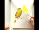 The two canaries were painted in a bit more then an hour as an example for a commission work. The customer wants a slightly diff