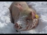 Свинка Розочка на зимней прогулке