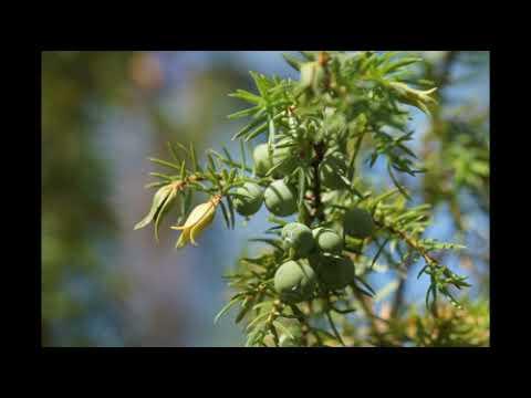 О можжевельнике красивое растение