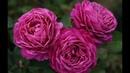 Роза Heidi Klum Rose Tantau Германия 1999