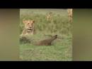 Мангуст лихо зашугал львов!