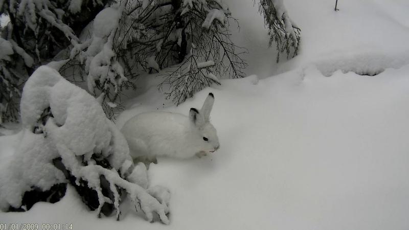 охота на зайца.контуженный заяц