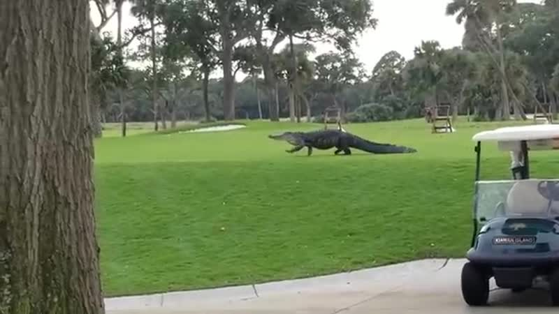 Гигантский аллигатор вышел на поле для гольфа