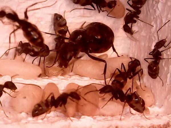 Camponotus rufoglaucus (Кампонотус с Канарских островов) жизнь колонии