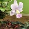 "Diego Silva Orchids on Instagram walkeriana Coerulea Biju DS"""