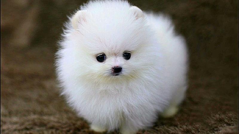 Cute Pomeranian Puppies Videos Compilation 16   Funniest Pomeranian Videos 2018