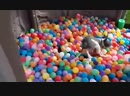 Greyhound puppies running around and playing in a ball pit