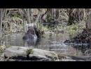 Бобры в Приокско Террасном заповеднике