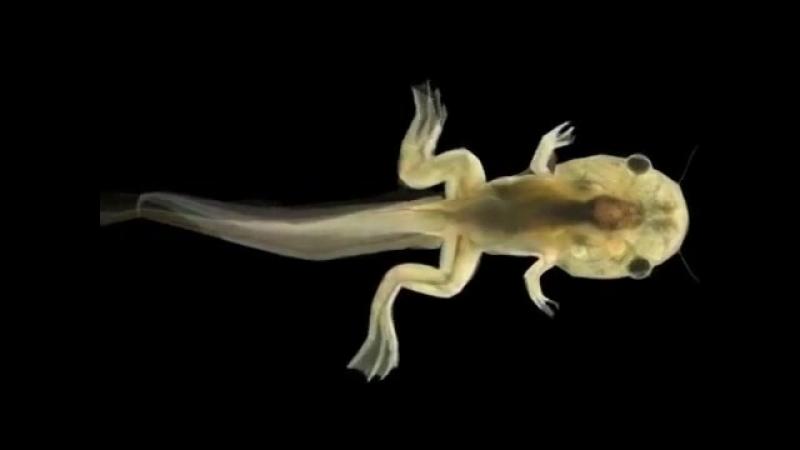 Метаморфоз лягушки
