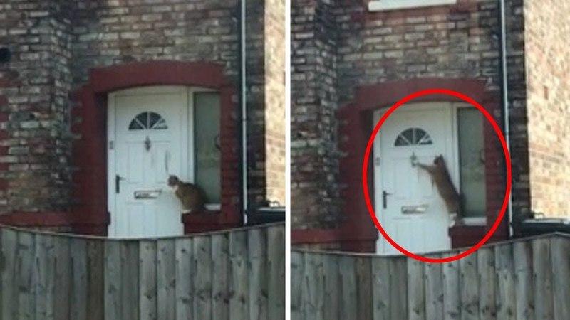 Британец научил кошку стучать в дверь