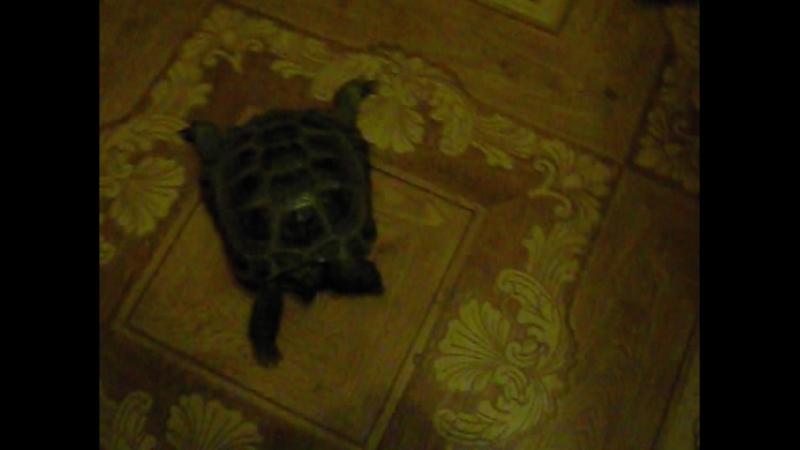Бойцовая черепаха