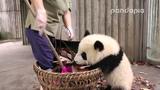 Panda cub and nannys war