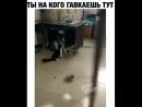 Кот шугает собаку