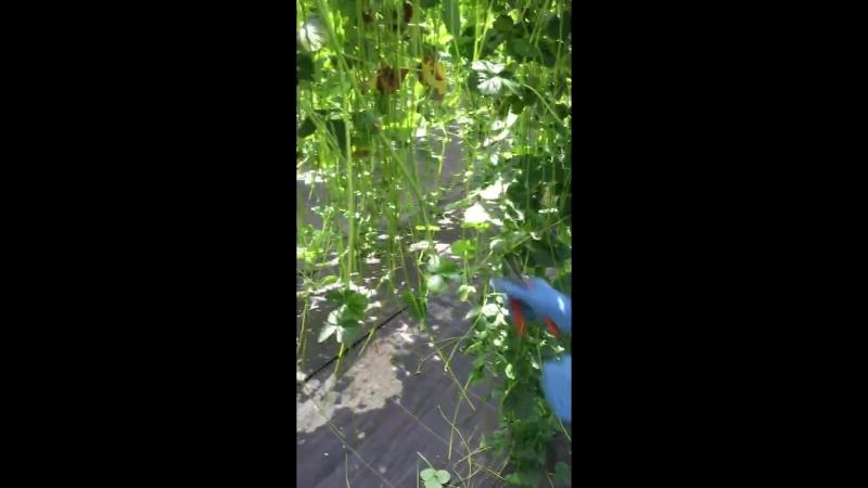 Tips cutting Hydroponic Strawberry Farm