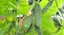 Хрустящие соленые огурчики Выбираем засолочные сорта