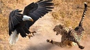Eagle Catches The Baby Leopard But Later... Discovery Wild Animals 2018 - Zebra, Hyena, Cheetah