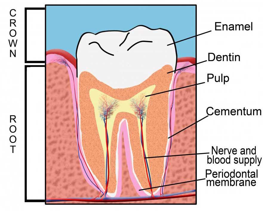 Зубной бор может использоваться, чтобы удалить поврежденную эмаль, прежде чем зуб будет заполнен.
