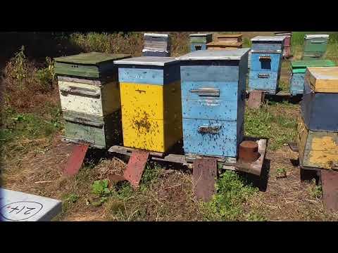Облёт пчёл - радость пчеловода.