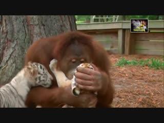 Самый добрый ролик на Земле (хорошее настроение, смешное, забавное, тигр, король лев, бабуин, обезьяна, кошка, младенец, собака)