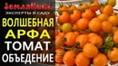 Томат Волшебная арфа. Гипоаллергенный коктельный томат оранжевого цвета от агрофирмы Поиск.