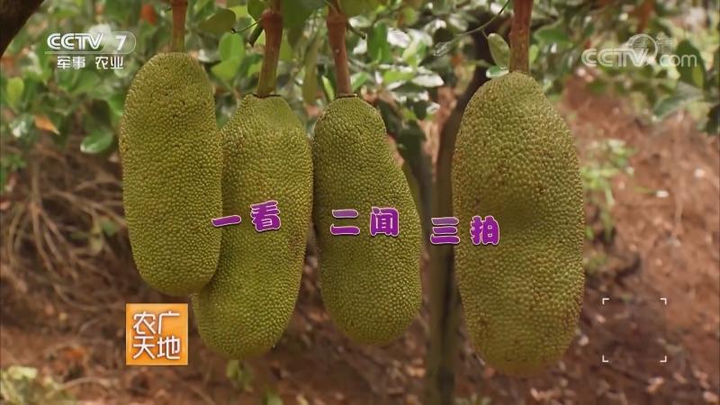 Хлебное дерево, или Джекфрут ''БоЛоМи'' (лат. Artocarpus integrifolia). Культивирование Джекфрута ''БоЛоМи дэ ЦзайПэй''. Техноло