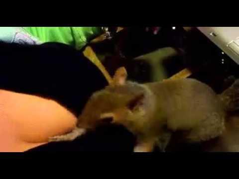 Белка прячет орех в титьках