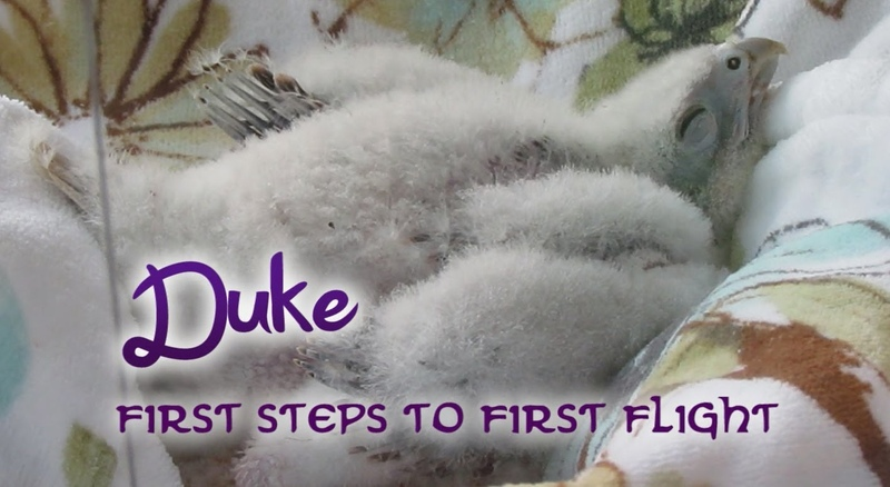 Средиземноморский сокол / Duke the Lanner Falcon - From First Steps to First Flight