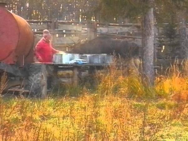Лось- домашнее животное. Костромская лосеферма. часть4. Осень.