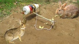 Amazing Quick Simple DIY Rabbit Trap Using 0.8L Cosmic Bottle - Boy Use Cosmic Bottle To Trap Rabbit