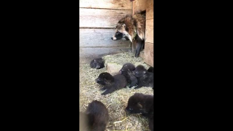 Детки енотовидной собаки на базе Кот Матроскин