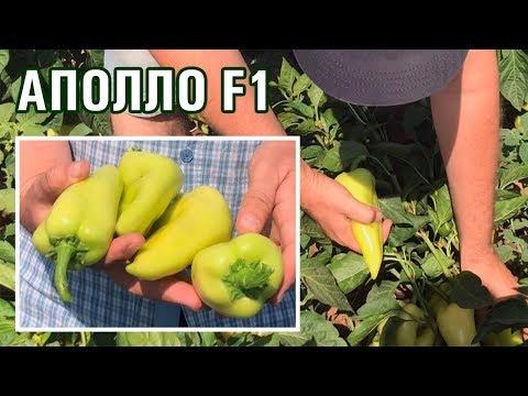 АПОЛЛО F1 - Шикарный толстостенный болгарский перец, прекрасный для рынка (26-07-2018)
