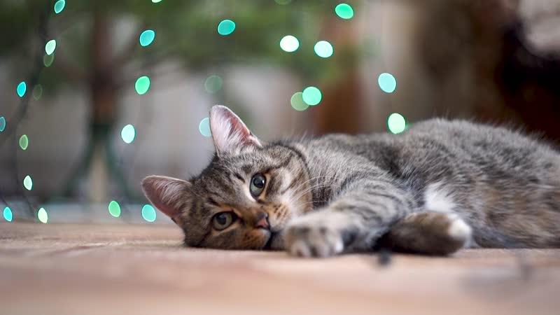 Кошка Лора
