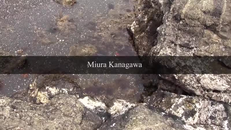 Finding world's saddest flying fish trapped in a small tide pool at Miura, Kanagawa, Japan.mp4