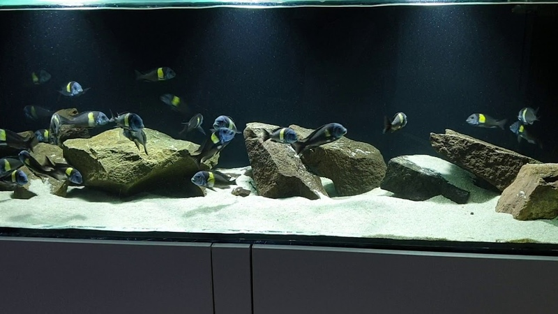 Tropheus Duboisi Maswa WF