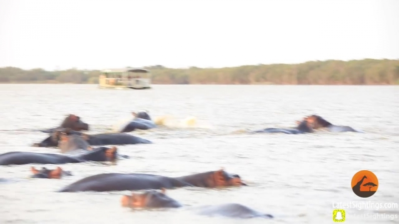1 Bull Shark Swim-Off Against 10 Hippos