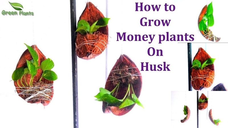 Посадка растений в кокос How to Grow Money plants Money plants on Coconut Husk Money plants Decoration GREEN PLANTS