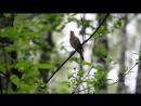 Пение птиц в природе.Соловей.