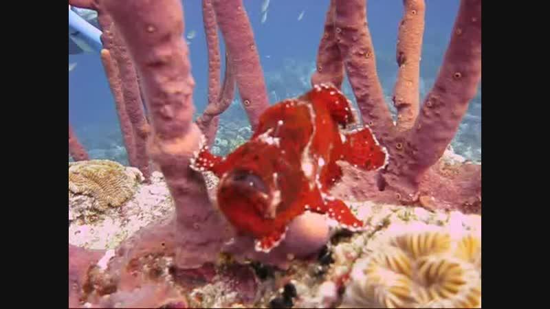 Губка и рыба-лягушка Клоуновые (лат. Antennariidae)