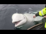 Norway fisherman removes harness from beluga whale