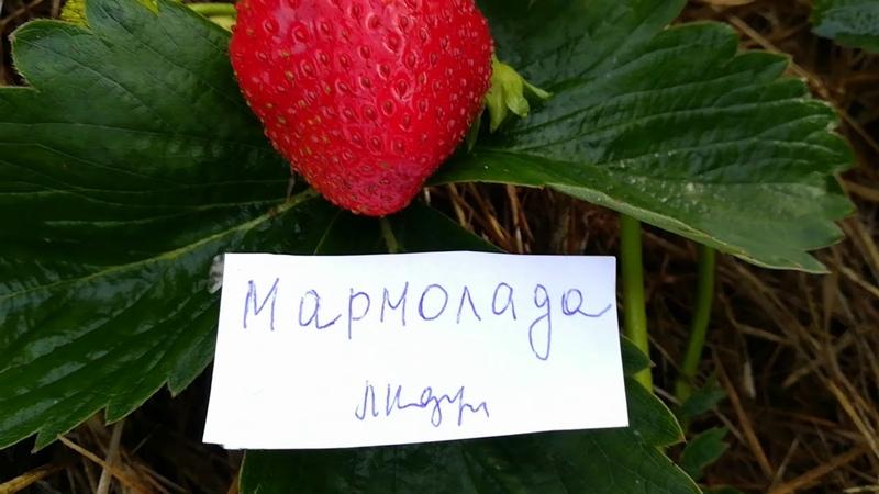 Мармолада садовая крупноплодная земляника июль 2018 года