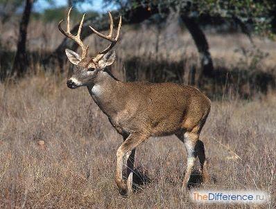 Разница между лосем и оленем