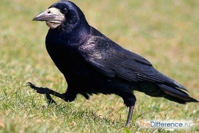 Разница между грачом и вороном Грачей и воронов часто путают из-за схожего внешнего вида. Только немногие любители орнитологии да наблюдательные взрослые способны сходу сказать, какую именно